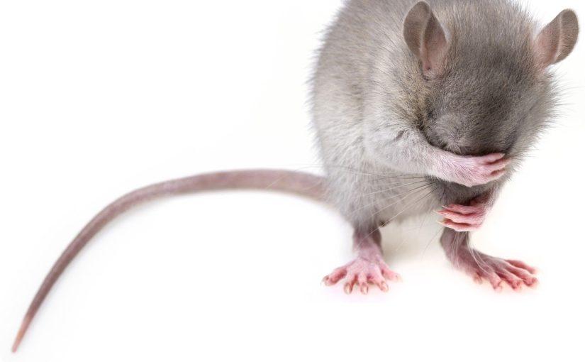 Jak pozbyć się szczurów z piwnicy?